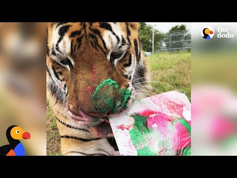 LIVE: Rescue Tiger Paints at Animal Sanctuary | The Dodo LIVE