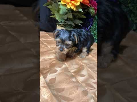 Presley - Yorkshire Terrier - Yorkie puppy for sale