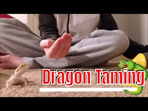 How to tame a Bearded Dragon (tips and tricks to earn trust)
