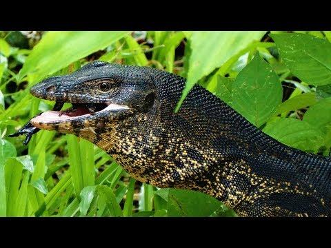 Riesenechse frisst Skorpion   Der Bindenwaran   Reptilien und Amphibien Folge 10