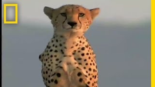 Cheetah Release | National Geographic thumbnail
