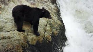 Bear's EXTREME Salmon Fishing   BBC Earth
