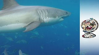 Alarm As Shark Attacks On The Rise In Australia