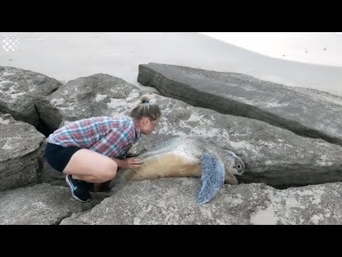 Rescuing a Sea Turtle Trapped Between Rocks