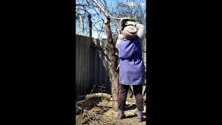"""#Shorts Как моя жена справилась с бензопилой при валке  фруктового дерева яблони ~~~~~~~~~~~~~~~~~~~~~~~~~~~~~~~~~~~~~~~~~~~ С 1 марта 2021 года канал """"Val50 - Мебель из дерева"""" сменил  название на """"Val50 -"""