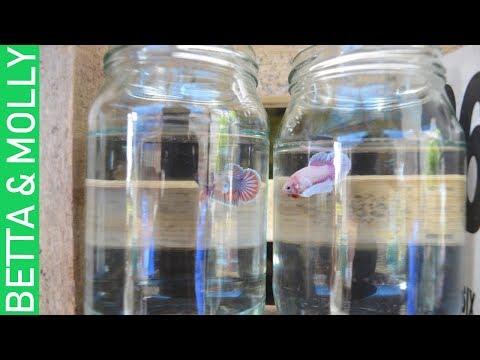 BETTA FRY & LIVEBEARER FISH  UPDATE