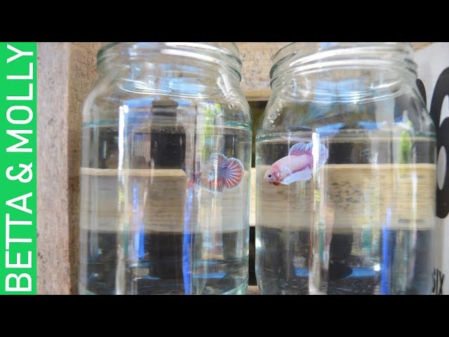 BETTA FRY & LIVEBEARER FISH  UPDATE