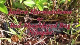 Red-Shouldered Bug Nymphs