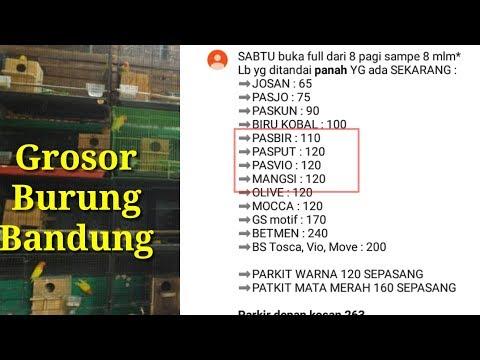 mp4 Olx Lovebird Biola Bandung, download Olx Lovebird Biola Bandung video klip Olx Lovebird Biola Bandung