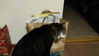 お取り込み中の猫 Cat Kuri is occupied   Kholo.pk