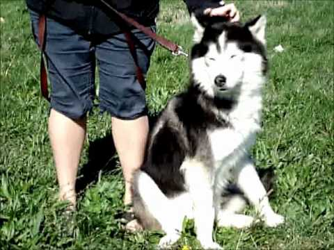 NOBLE-Godspeed, an adopted Siberian Husky in Indianapolis, IN