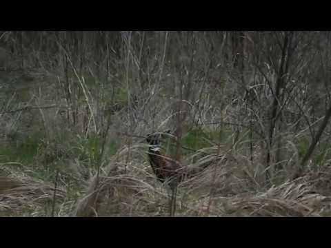 Ловля фазана на кукурузу.
