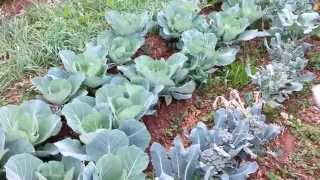 How To Harvest Broccoli  - Early Morning Harvest Time In The Garden!!!!