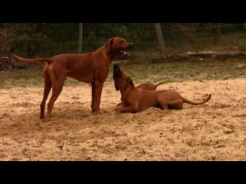 Spelende honden in Cuijk
