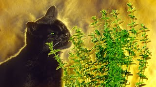 What Happens When Cats Have Catnip? | Pets: Wild At Heart | BBC Earth