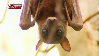 تحميل اغاني 300 ألف خفاش تغزو مدينة في استراليا.. هل تؤدي إلى انتشار كورونا؟ MP3