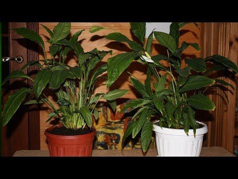 Комнатные цветы  Спатифиллум  Как делить взрослый куст