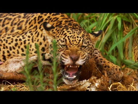 Jaguar Cubs Fight for Food | Jaguars Born Free | BBC Earth