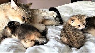 Красивая кошка и 4 смешных котенка играют - коты и кошки - смешное видео 2019 - приколы с котами