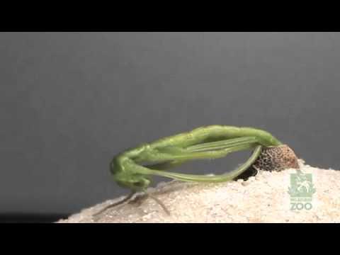 חרק מקלונאי בוקע מביצה - מדהים!