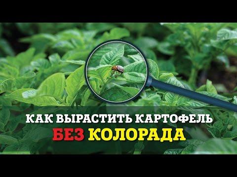 Колорадский жук. Как бороться с вредителем?