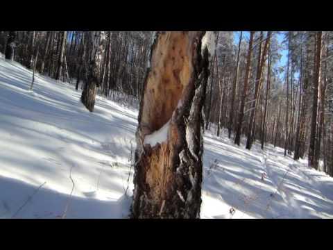 Уловистые деревья для поимки бродячих роёв, поход в лес.