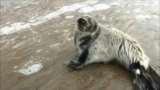 Тюлень маленький. Спасаю от медведя.