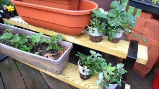 Planting Strawberries In Containers: Transplants, Bare CrownsRoots,  Fertilizing, Baking Soda Spray