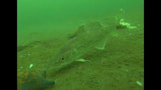 Ловля наваги на морского червя