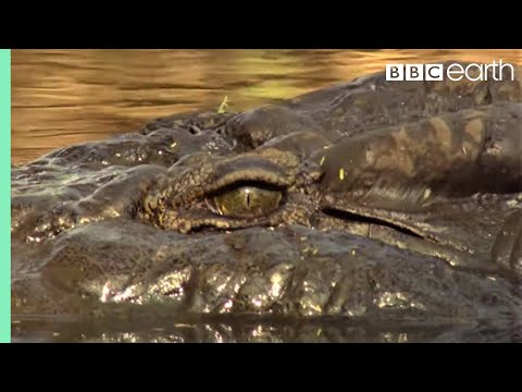 Top 5 Killer Crocodile Moments   BBC Earth