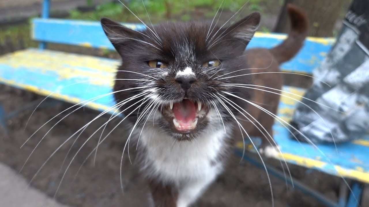 Hungry cute cat meow