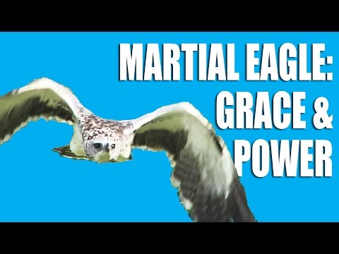 Martial Eagle – Grace and Power