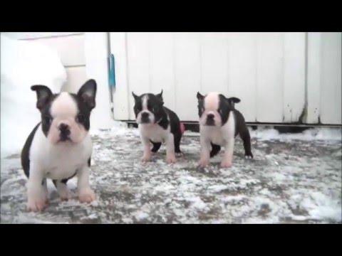 Boston Terrier puppies 8 weeks