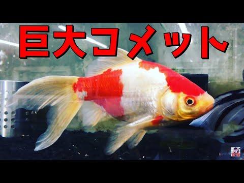 大型コメット&朱文金 約30cm 金魚と遊ぶ.com
