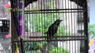 Suara Burung Cucak Keling Unik