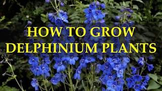 HOW TO GROW DELPHINIUM PLANTS