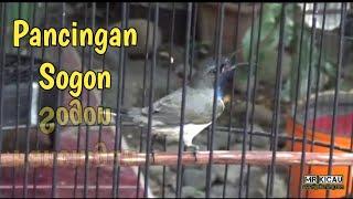 Sogon Juara   Cocok Untuk Pancingan Sogon Bakalan