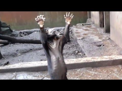 Emaciated bears beg for food
