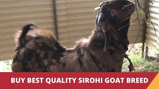 Sirohi Goat - a goat breed from Rajasthan
