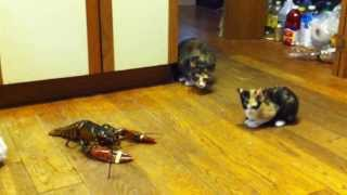 Kitten vs. Lobster