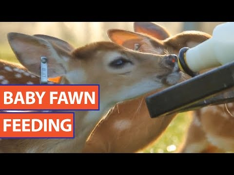 Baby Fawn Feeding Video 2017   Daily Heart Beat