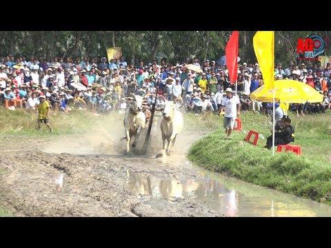 Sôi nổi Hội đua bò Bảy Núi tranh Cúp Truyền hình An Giang