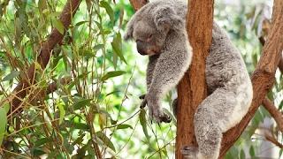 Koala Documentary | Australian Koalas | Cute Koala Bears | The Koala Bear | Animal & Nature Film