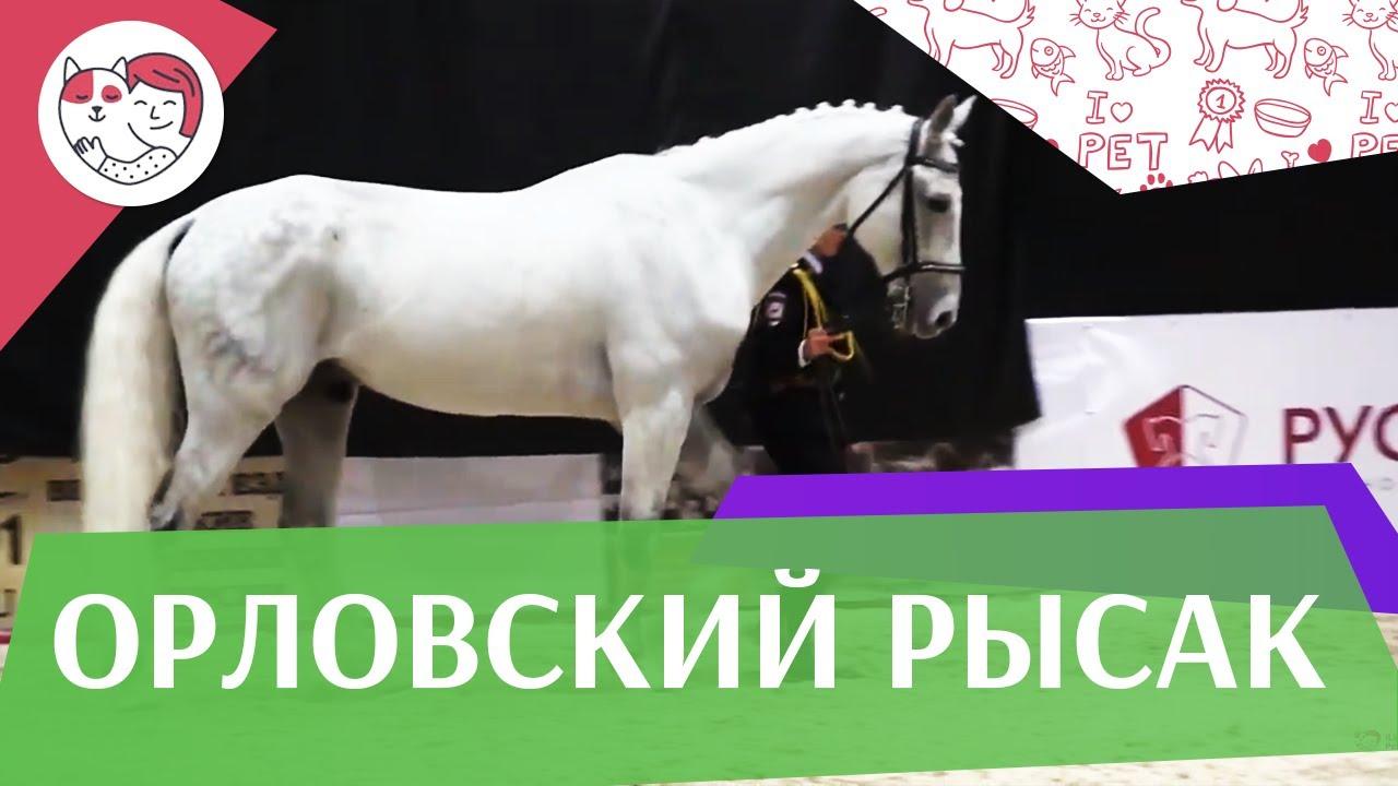 ЛОШАДИ Орловский рысак 2 ЭКВИРОС 2016 на ilikepet