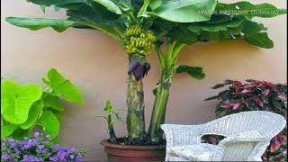 How To Grow Banana Tree In Pot - Complete Growing Guide