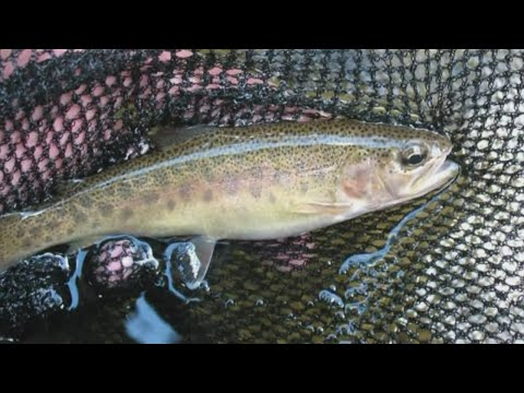 Experts looking to restore Rio Grande Cutthroat Trout population