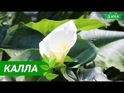 ОТ ЧЕГО ПОГИБАЮТ КАЛЛА И СПАТИФИЛЛУМ | Особенности выращивания комнатной каллы