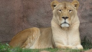 Biggest African Female Lion