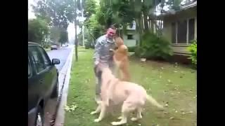 Как собаки радуются возвращению хозяина из командировки