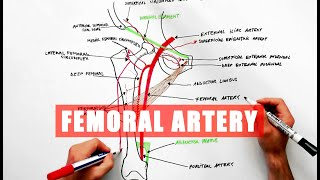 Femoral Artery And Its Branches - Anatomy Tutorial